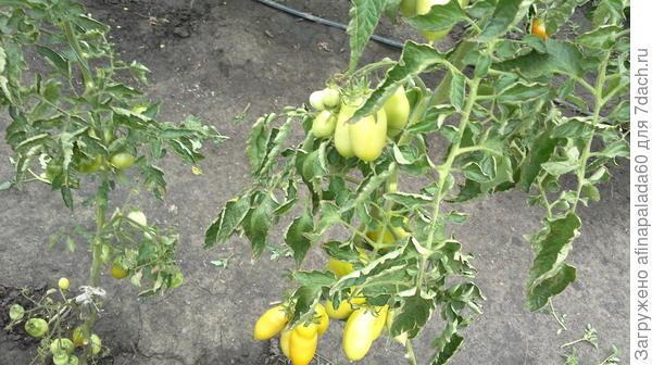 Сорт томата Пальмира.