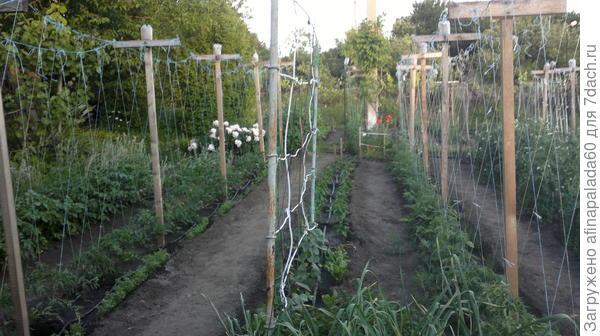 Несколько рядов высокорослых томатов в 2017 г.