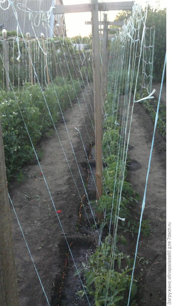 Подробности подвязки томатов на опорах.