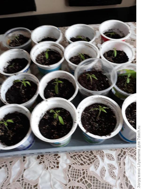 Рассадила ростки