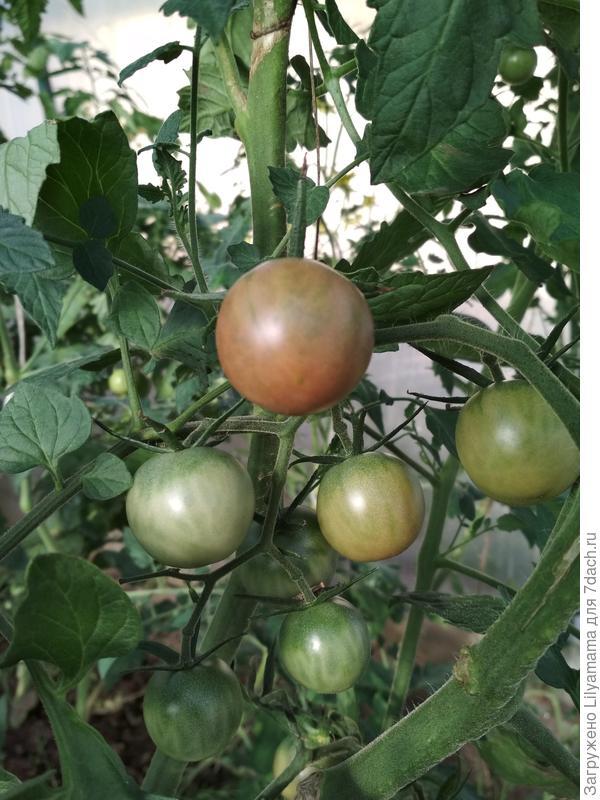 Плоды жемчуга