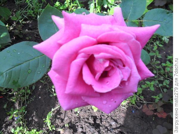 Роза Чарли