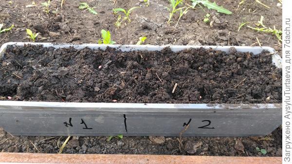 сажаем семена огурцов Зятек