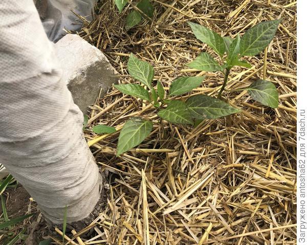 Перец сладкий Зеленые пальчики от настоящего листочка до переезда в теплицу