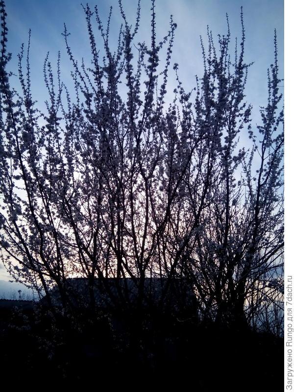 Цветущий абрикос в сумерках