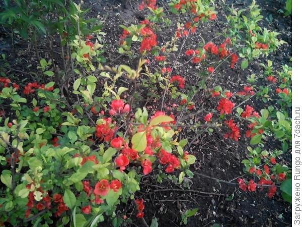 цветущий фейхоа