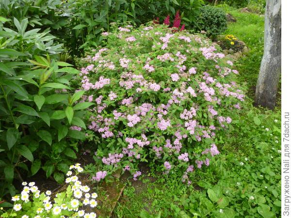 Спирея японская. Во время своего долгого цветения придает саду такой шарм!