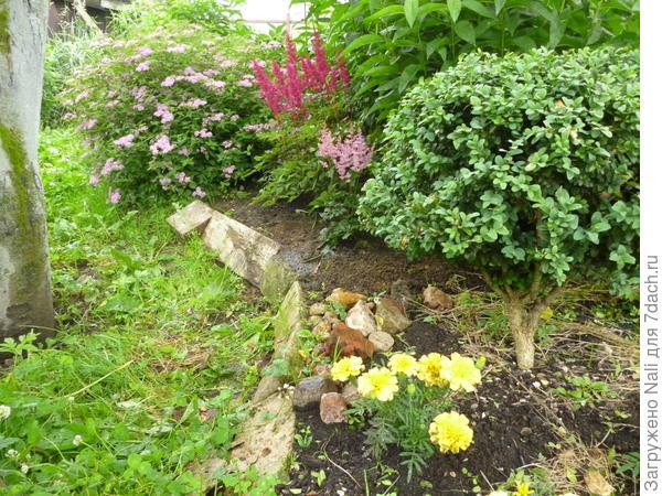 Самшит. Маленькое вечнозеленое деревце в моем саду. Люблю терпкий запах его кожистых листочков. И тоже о родине напоминает, из тех южных краев...