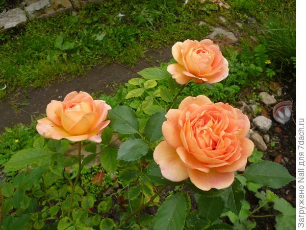 Английские розы. Решив в первый раз посадить розы, выбрала их, и они не обманули моих ожиданий...
