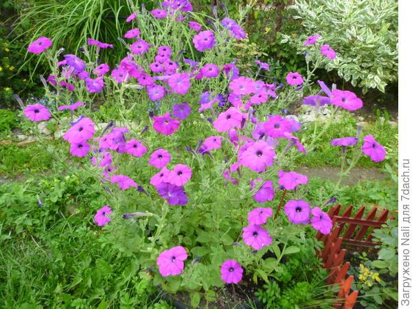 Петуния Альдерман. Здесь 5-6 растений.