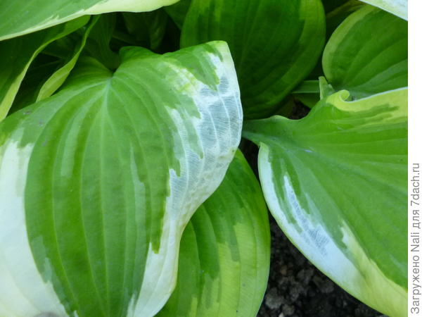 Листья хосты становятся белыми и полупрозрачными.