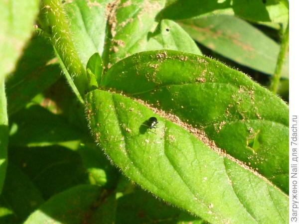 И эта маленькая козявочка делает столько дырок в листьях энотеры. Попробовала ее схватить - отпрыгивает, как блоха.