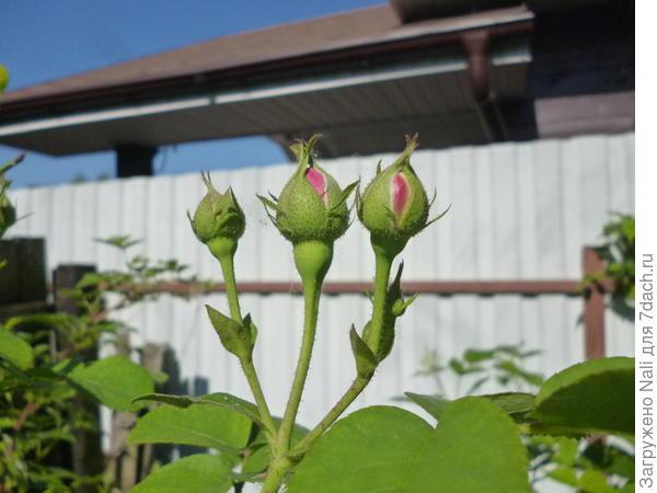 """""""Три богатыря"""" плетистой розы. Самые первые."""