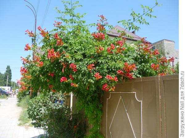 Вот так цветет кампсис в Анапе.
