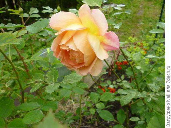 """Английская роза, вокруг которой устраиваю """"пляски с бубном"""". Головку еле держит."""