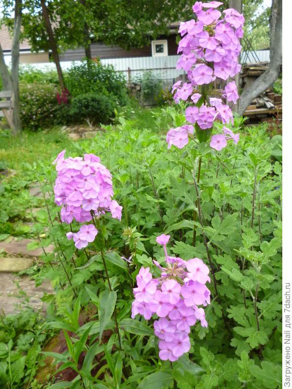 Ранний, цветет в начале июля.