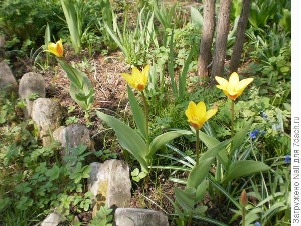Неизвестные тюльпаны