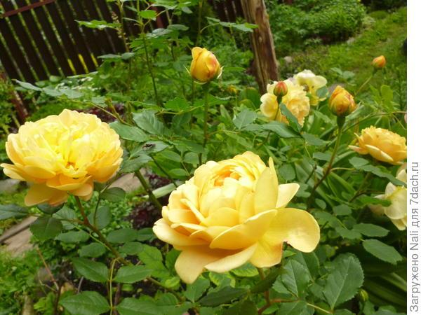 Роза (та самая, Томас Грэхам )))