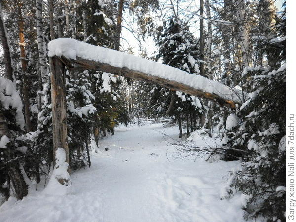 Много поваленных деревьев - это мертвые ели, результат работы жука-короеда((