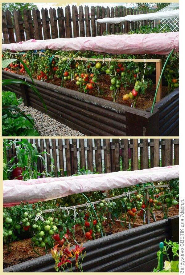 помидорам тоже нравится расти на высоких грядках :)