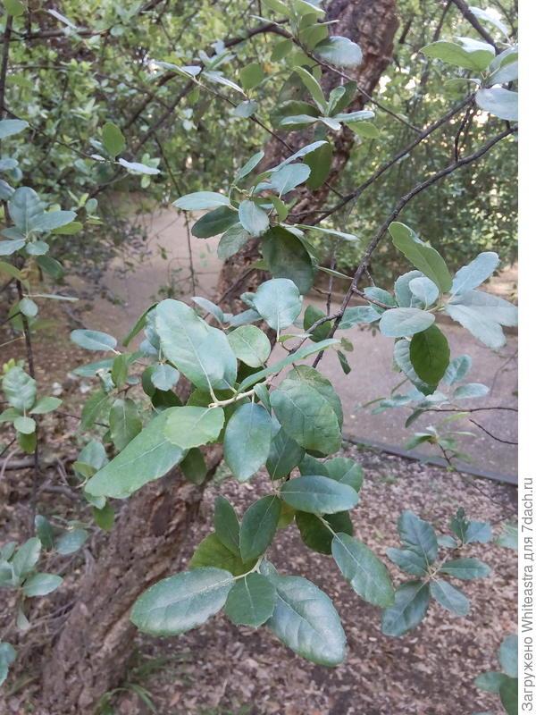 Quercus suber. Еще один дуб.
