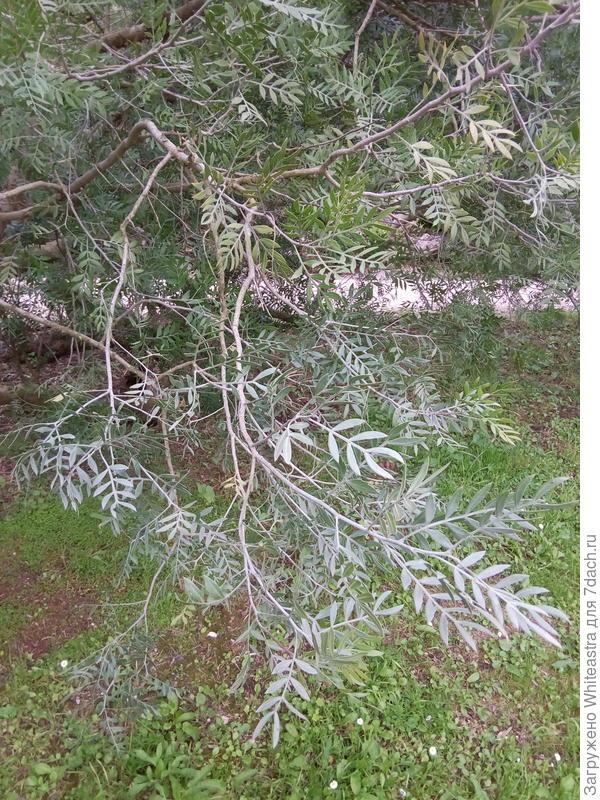Schinus lentiscifolius Marchand