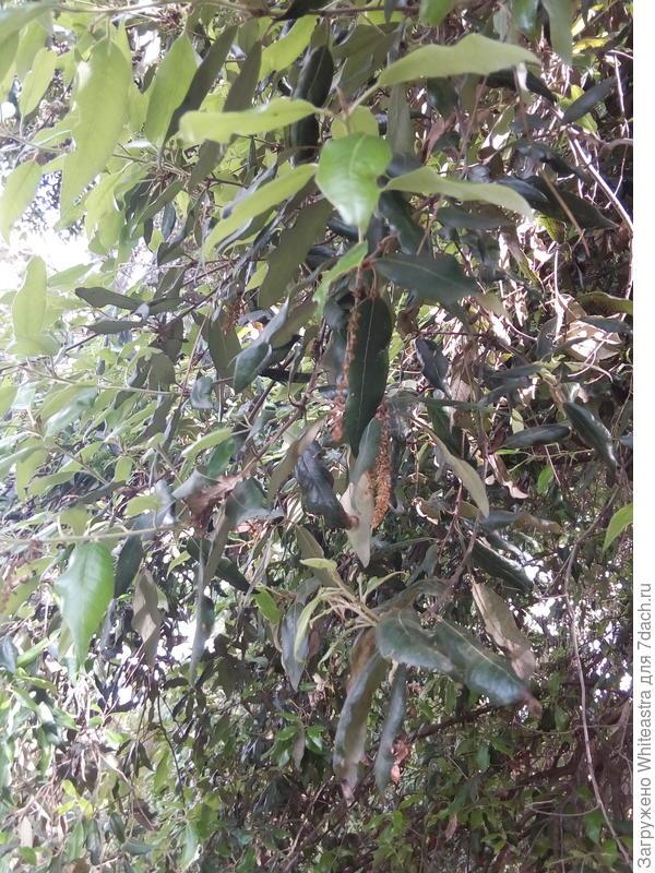 Quercus ilex. Такой вот дуб вечнозеленый