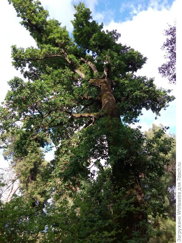 Quercus pubescentis