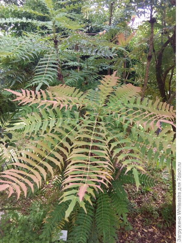 Berberis iomariifolia (Takeda)