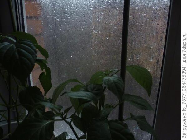 дождь,острый перец