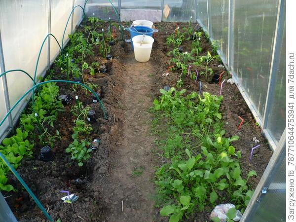 в теплице высаживаю рассаду