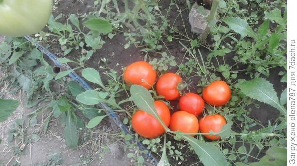Сорванные с куста 1 томаты Лирика.
