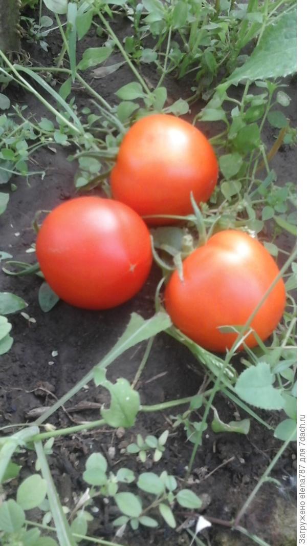 Отломившиеся с кисти томаты из-за сильного ветра.
