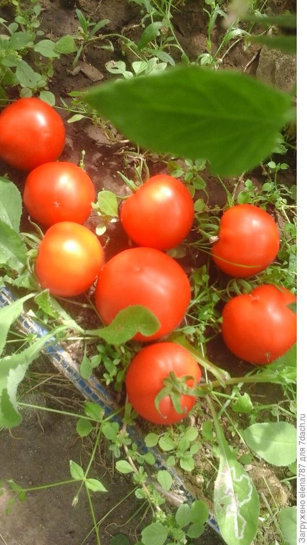 Из-за продолжающегося сильного ветра до 20м/с томаты падают.Упавшие томаты с куста 1.