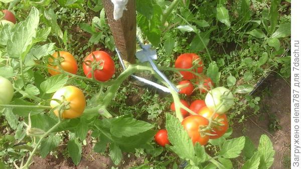 Удержавшиеся на кусте 1 томаты.