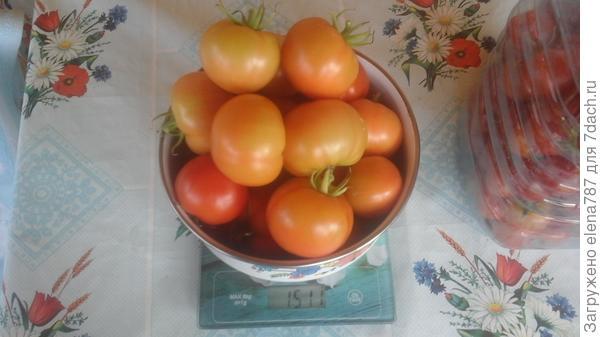 Лирика:четвертый сбор плодов с куста 1 =1510г.