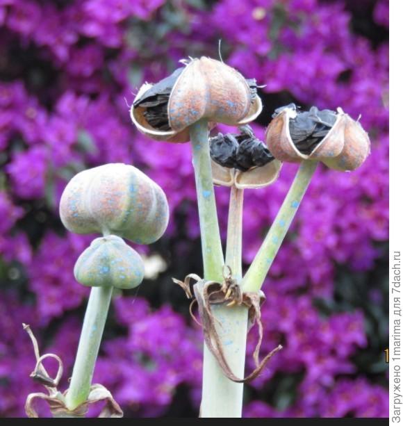 Подскажите название этого чуда-юдо)  Семена мне привезли  из Греции и единственное фото с  этим растением. Семена уже дали корни, что ожидать от него, не знаю. ))
