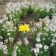 Что за беленький цветок?