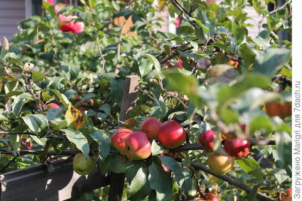 Одна из молодых яблонь на нашем участке