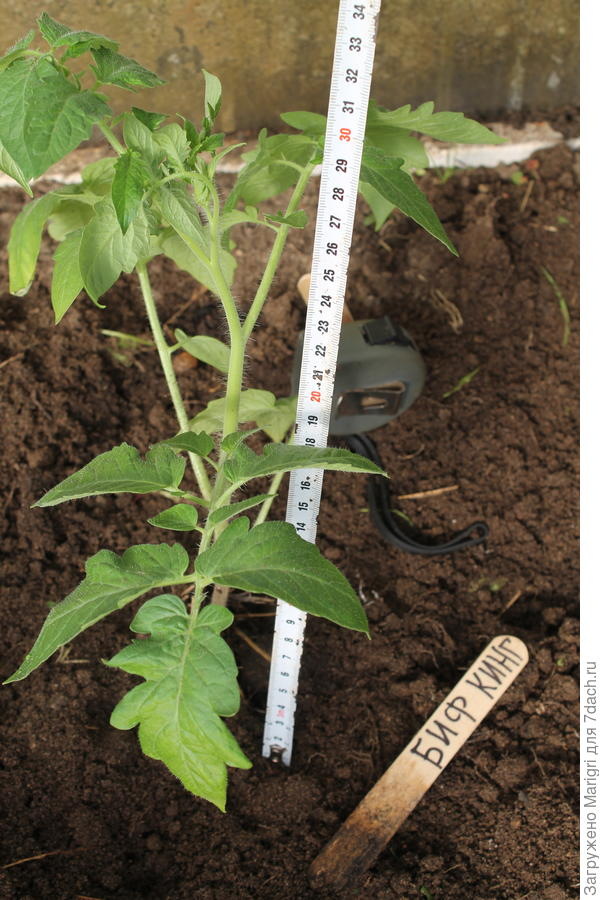 Высота растения над землей  - 30 см.