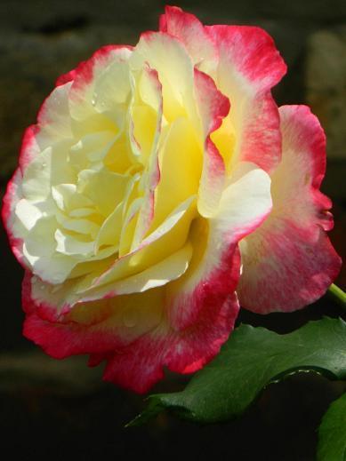 Роза с малиновыми краями и кремовой серединкой