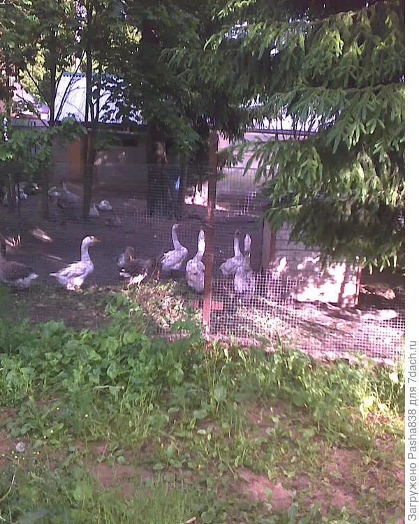 Гуси на куче выполотых сорняков