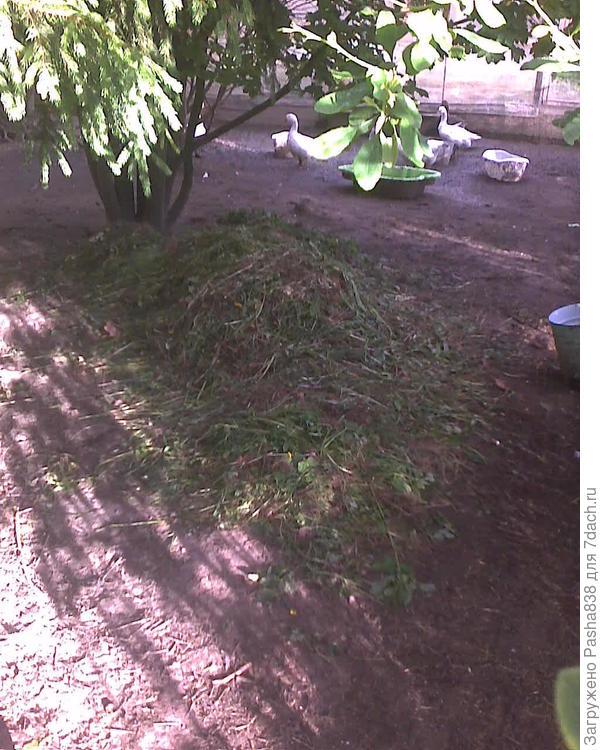 Другая куча выполотых сорняков, но гусиного интереса она уже не вызывает. Наелись.