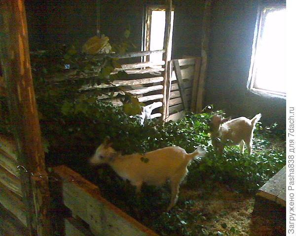 Строится хлев, селятся козы. Летом они кроме этих дармовых веников вообще ничего толком не едят, чо тут особенного? Для себя держу 4 козы и козлика - вполне хватит чтобы за молоком в магазин не бегать.