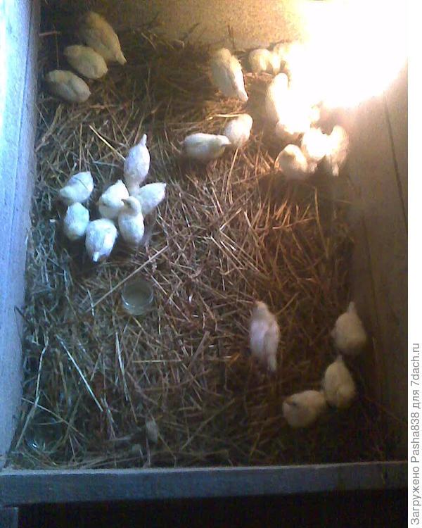 леггорн, 31 шт. Инкубаторы работают, яйца подкладываю, буду выводить пока несутся, чем больше, тем лучше. Позже переселю в стеллажи, а потом в комнатушку в хлеву (на зиму).
