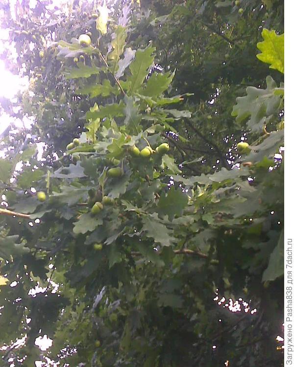 Дело к осени идёт, желуди поспевают. Этот дуб у меня на участке в углу не просто так растёт - с него листья иногда идут на засолку огурцов. 5-7 листиков на ведро ))