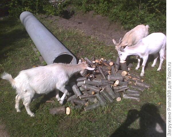 Вчера на улице. Я порезал палки, оставшиеся от ночной кормежки (ну то есть вечером вваливал ветки с листьями в хлев), пока козы гуляли. Просто выходить пилить мне лень, а так вроде и козы гуляют, и я не скучаю.