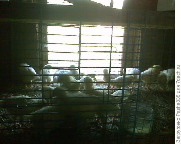 """Цыплята """"этажом"""" выше. Решетки частично взяты от древних клеток от попугаев, у них полно разных дверц и окошек, что облегчает обслуживание. В качестве подстилки использую подсушенное скошенное где попало сено, а потом его меняю. В будущем эти полки буду просто белить. Пока что совсем новые, поэтому еще не белил, а просто поселил живность. Полок много и можно переселять и убираться, и белить как и когда угодно."""