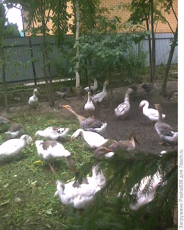 Гуси на своём выгуле подъедают выполотые с огорода сорняки