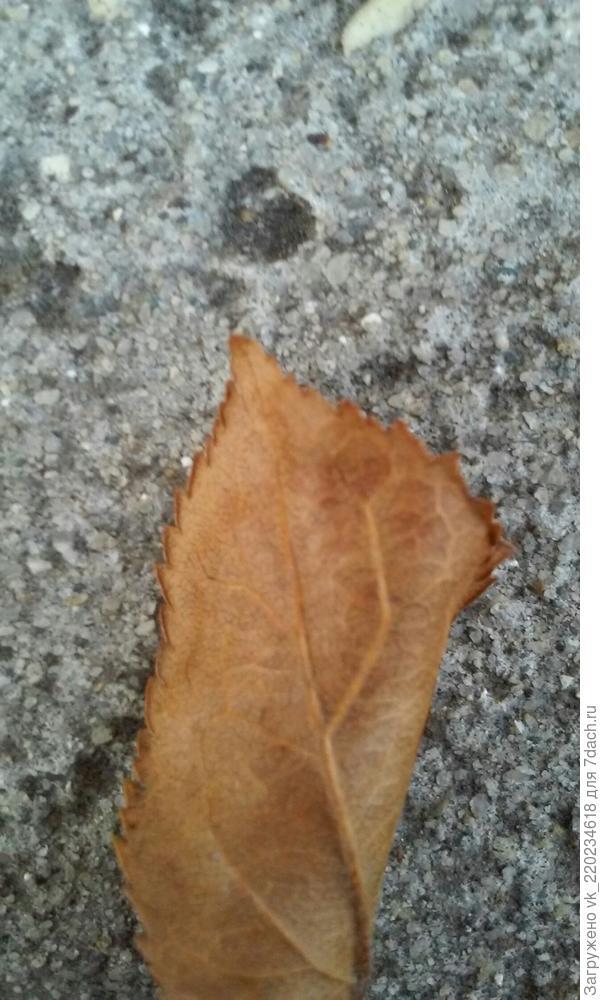 Листья, оставшиеся с осени, вот такие: